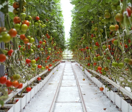 Rows of Tomatoes in a Greenhouse Stock Photo