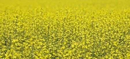 oilseed rape: Field of Oilseed Rape full frame