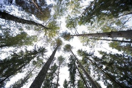 Large group of Pine trees from low angle view