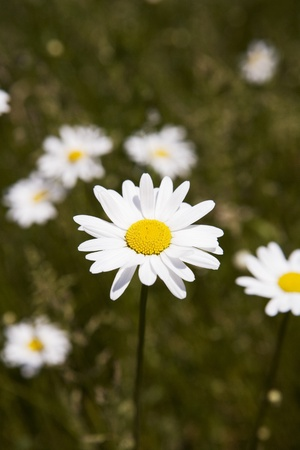 spousal: Field of Daisy Flowers with selective focus
