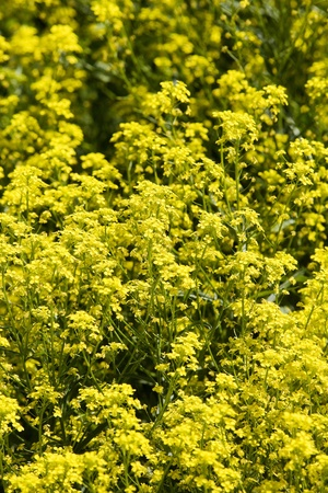 Oilseed Rape field full frame Stock Photo - 12844032