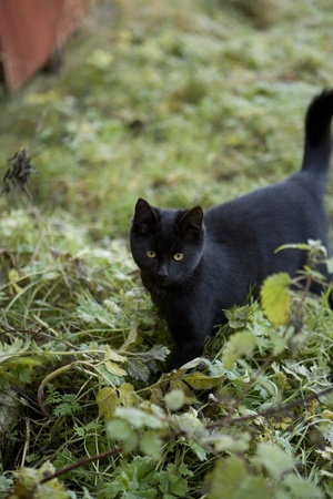 Black cat in the grass photo