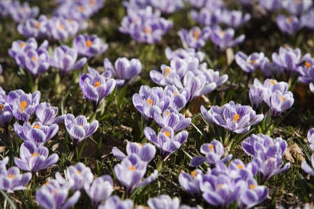 Crocus at springtime full frame photo