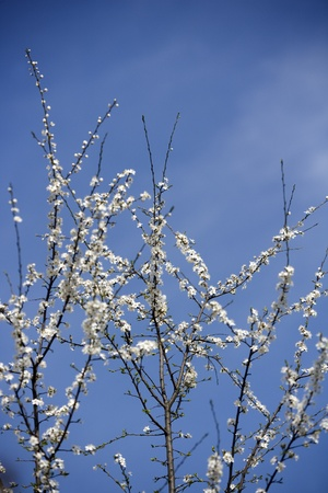 Apple Blossom in front of blue sky Stock Photo - 13625349