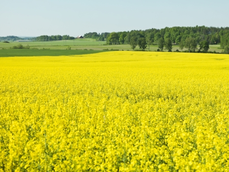 oilseed rape: Oilseed Rape Landscape on a summer day