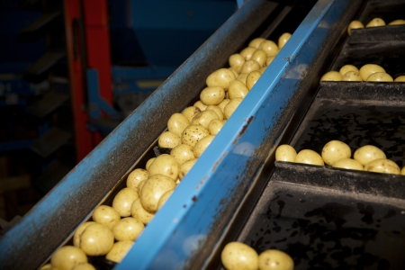 grading: Detail from a Potatoe Industry Stock Photo