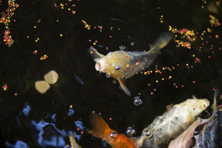 cyprinoid: Goldfish eating with selective focus Stock Photo
