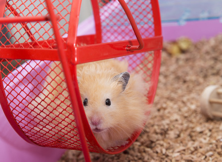 hamster: Close up of Hamster in Wheel