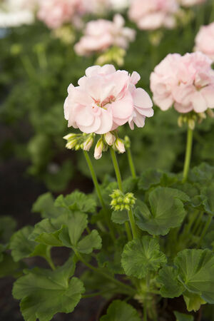 arrangment: Close up of Geranium Flowers Stock Photo