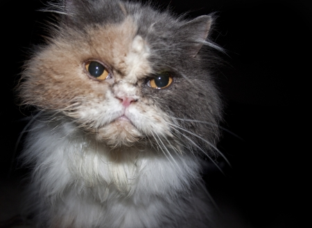 angry cat: Mad Persian Cat with Attitude