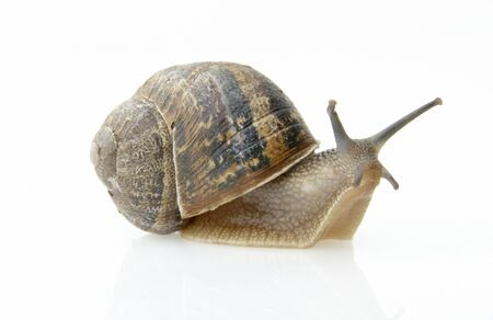 slow moving snail with shell on its back on white background