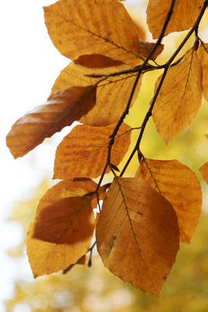 leaves from a beech tree at autumn time Stock Photo - 8304008