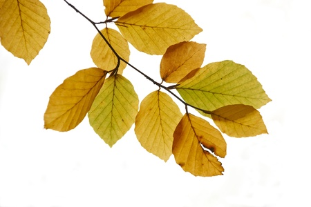 leaves from a beech tree at autumn time