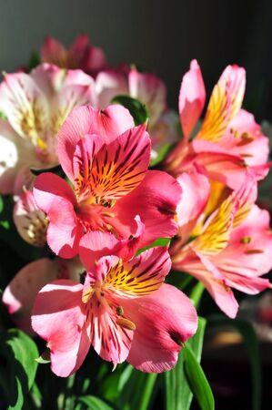 Flowers Alstroemeria on a dark background.