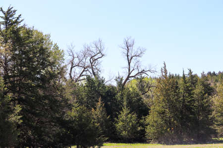 bunch of big cedar trees with a tall cotton wood tree in the middle I think it looks like deer antlers. High quality photo