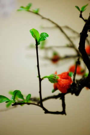 begonia: red begonia