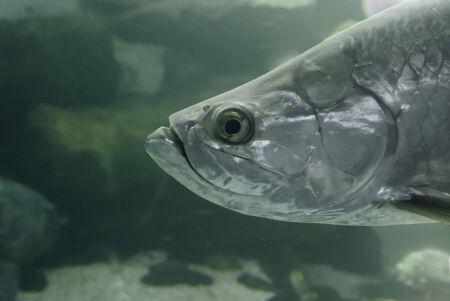 mote: Atlantic Tarpon, Megalops atlanticus, at Mote Marine Laboratory Aquarium