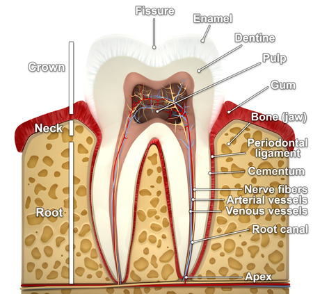 clean artery: Human tooth cross-section (3d model)