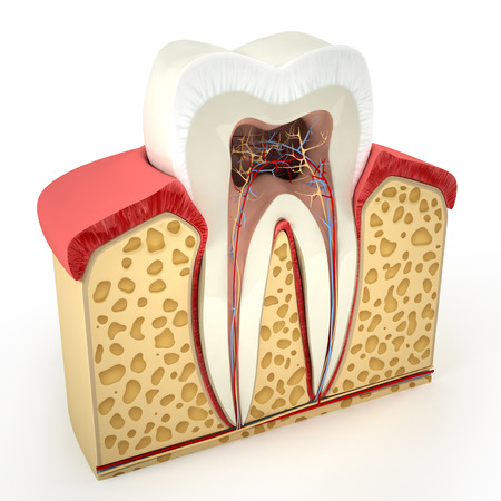 canals: Human tooth cross-section (3d model)