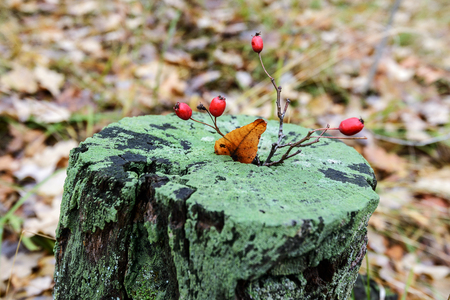 Forest stump covered with moss with a hawthorn twig. Autumn colors the trees and highlights them with colorful colors. The most beautiful time of the year is autumn, a variety of colors and forest landscapes Zdjęcie Seryjne