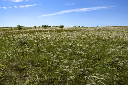 Steppe feather grass is beautiful in spring, it occupies large areas. Mainly grows in steppes with Cretaceous formations
