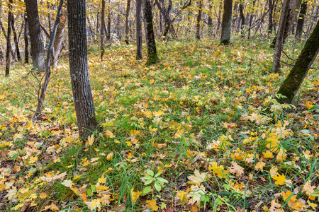 Fallen maple leaves formed a carpet under the trees. Brightest time of autumn is golden autumn. Trees, before plunging into a long sleep, throw gold clothes from rapidly yellowing leaves.