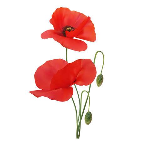 mák: Poppy šarlatové barvy na bílém pozadí. Vektor Ilustrace