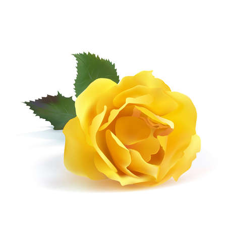 Rose yellow color  on a white background. Vector