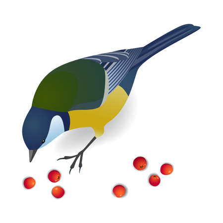 Cute bird titmouse pecks rowan berries. Realistic vector illustration