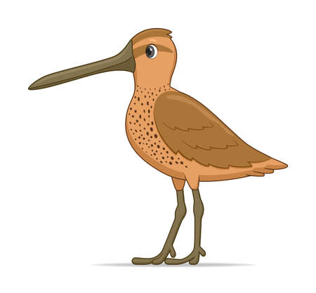 Asian dowitcher bird on a white background. Cartoon style vector illustration
