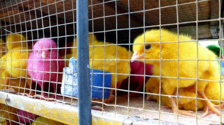 chicks: Polluelos de colores