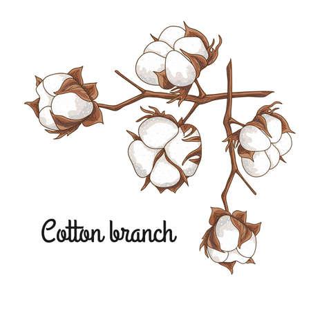 Branche d'un coton Banque d'images - 85091498