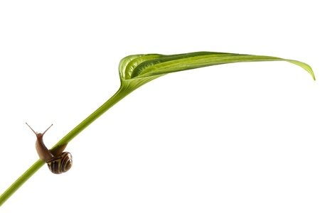 Small brown snail hauls its heavy shell up onto a leaf stem  Striped green leaf is in profile view  Diagonal lines and horizontal format with copy space