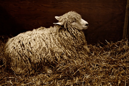 longhaired: Low-key sepia image of a Cotswold ewe resting on straw bedding, with emphasis on contrasting textures. Dark background, horizontal layout, and copy space.