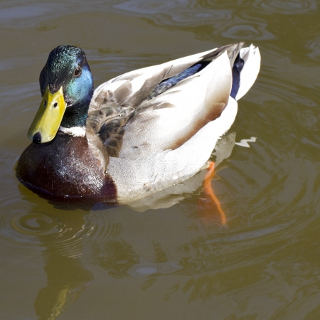 Drake mallard duck with iridescent green feathers, yellow beak, and white neck ring. Closeup looking down on duck. Its orange webbed foot makes gentle ripples on pond water surface. Square with copy space. photo