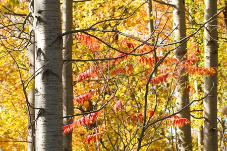 Yellow and red autumn foliage of white birch and sumac trees photo