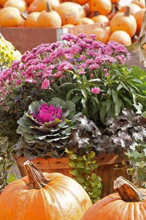 flowering kale: Pink chrysanthemums and kale with orange pumpkins