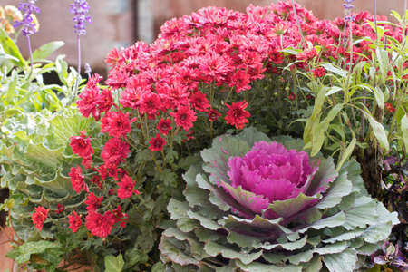 flowering kale: Autumn display of chrysanthemums and kale at a farmers market