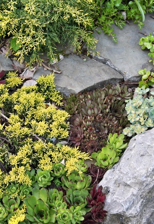ornamental shrub: Low yellow juniper and colorful sedum varieties in rock garden provide textural and color contrasts  Vertical composition
