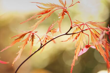 japanese maple: Closeup of orange cut leaf Japanese maple leaves in autumn colors with blurred soft green and gold background  Horizontal format with copy space