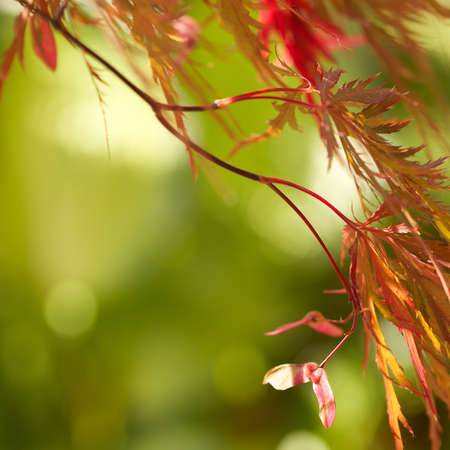 japanese maple: Closeup of flame colored cutleaf Japanese maple leaves in autumn  Defocused soft green background, square format, and copy space  Stock Photo