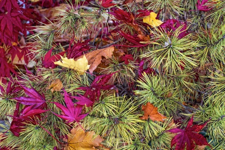 Autumn closeup of bright magenta Japanese maple leaves fallen on yellow-needled ornamental pine shrub  Contrasting texture, pattern and and color emphasized in this horizontal composition  photo