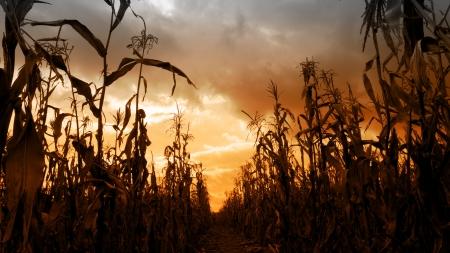 Dlouhé řady vysokých sušené kukuřičné stonky s vzdáleného úběžník, Rozeznáváme dramatické oranžový západ slunce široký úhel, horizontální formát