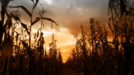 Long rows of tall dried corn stalks with distant vanishing point, silhouetted against a dramatic orange sunset  Wide angle, horizontal format