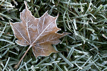 silvery: Closeup of early morning hoar frost sparkling on fallen maple leaves in autumn  Horizontal format