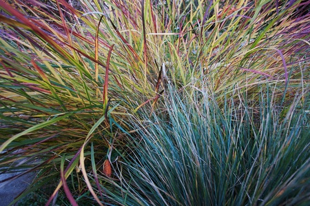 perennial: Ornamental blue oat grass and panic grass  in garden with emphasis on texture and color contrasts  Closeup view, horizontal composition