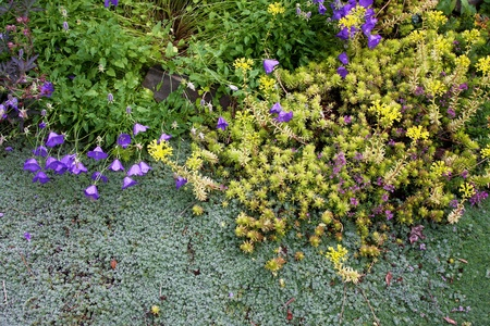 Drought-tolerant wooly silver thyme, golden sedum, and miniature blue bellflower are perennial low creeping groundcovers blooming together along a garden pathway