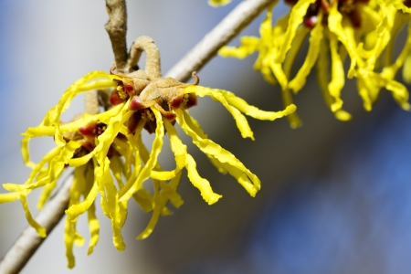 Yellow witch hazel  Stock Photo