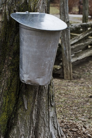 split rail: Sap buckets hangs from sugar maple tree in early spring, with split rail fence nearby  Vertical layout with copy space