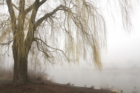 Weeping willow tree with yellow branches in early spring overhangs a misty lake. Horizontal with copy space.